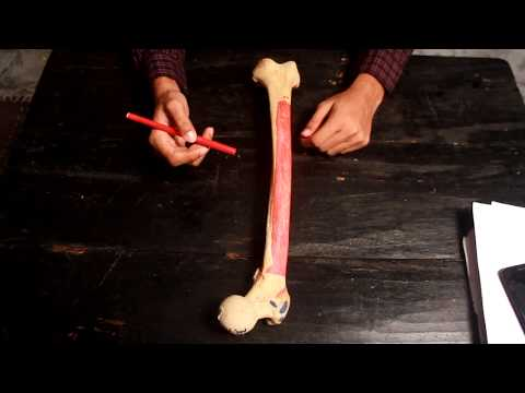Femur : All you need to know