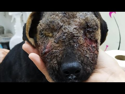 BEFORE and NOW of a puppy knew nothing but Pain and Indifference, victim of abandonment.