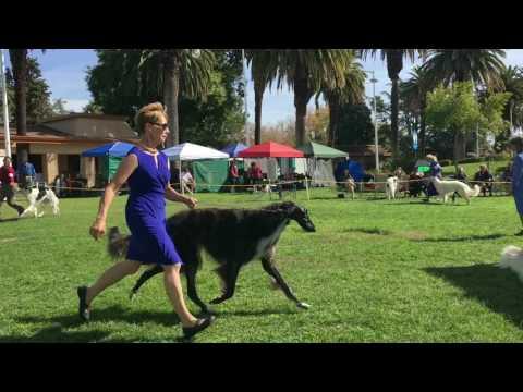 Borzoi Club of Northern California 2016 Specialty