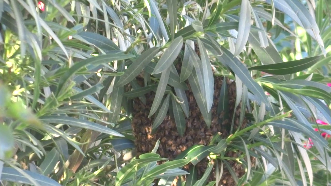 ball of bees in tree,  palm springs,  California