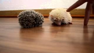Funny Hedgehog / прикольные ёжики 85