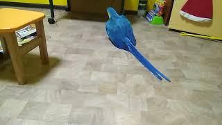 Дрессированный попугай ара приносит игрушку по команде