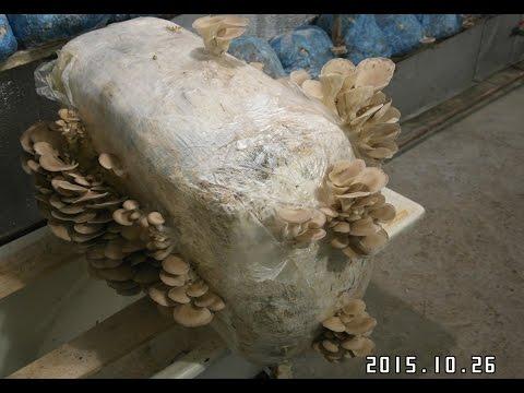выращивание вешенки в грибных блоках