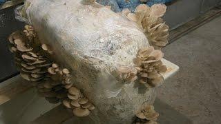 ВЕШЕНКА на ТЮКЕ соломы РЕЗУЛЬТАТ #3(Выращивание вешенки на тюках соломы имеет очень большой практический смысл. Налаживая производство таким..., 2015-11-06T04:00:00.000Z)