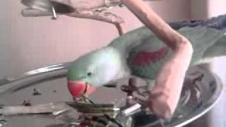 Papagaio Alexandrino Chiko