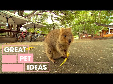 The Quokkas Of Rottnest Island | Pets And Animals | Great Home Ideas