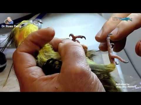 how to cut cockatiel nails