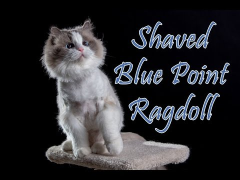 Blue Point Ragdoll Cat - Photo Shoot Time