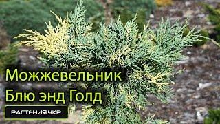 Можжевельник средний Блю энд Голд / Можжевельник посадка и уход / хвойные растения(, 2015-05-10T11:53:37.000Z)