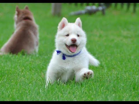Cute Husky Wallpaper Cutest White Husky Puppy Must Watch Youtube