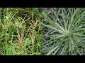 Paragis Or Goose Grass Miracle Health Benefits, You Probably Didn't Know!