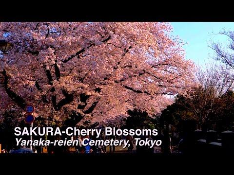 SAKURA Cherry Blossoms Yanaka-reien Cemetery, Tokyo 谷中霊園の桜 #sakura