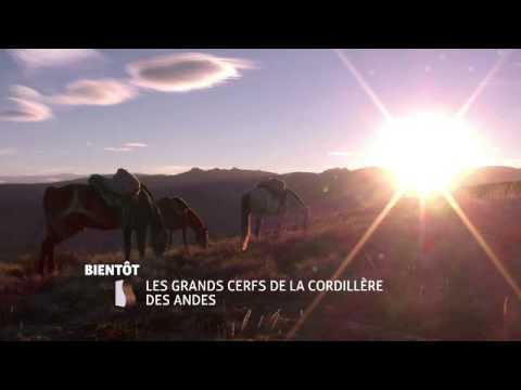 Les Grands Cerfs De La Cordillère Des Andes