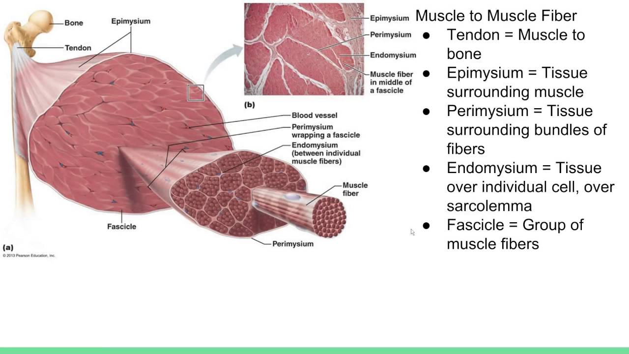 Muscle Cell Anatomy For Bodybuilders Youtube
