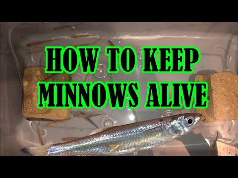 How To Keep Minnows Alive (DIY Bait Tank Build)