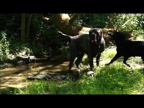 Junior The Neapolitan Mastiff & Fynn The Retriever Puppy Get To Play!