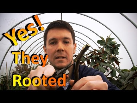 The New Fig Cuttings are Rooting Well Without a Humidity Chamber | Part 1