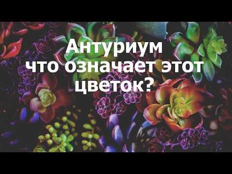 Антуриум - что означает этот цветок?