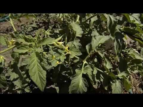 Народные средства от вредителей - ботва томатов
