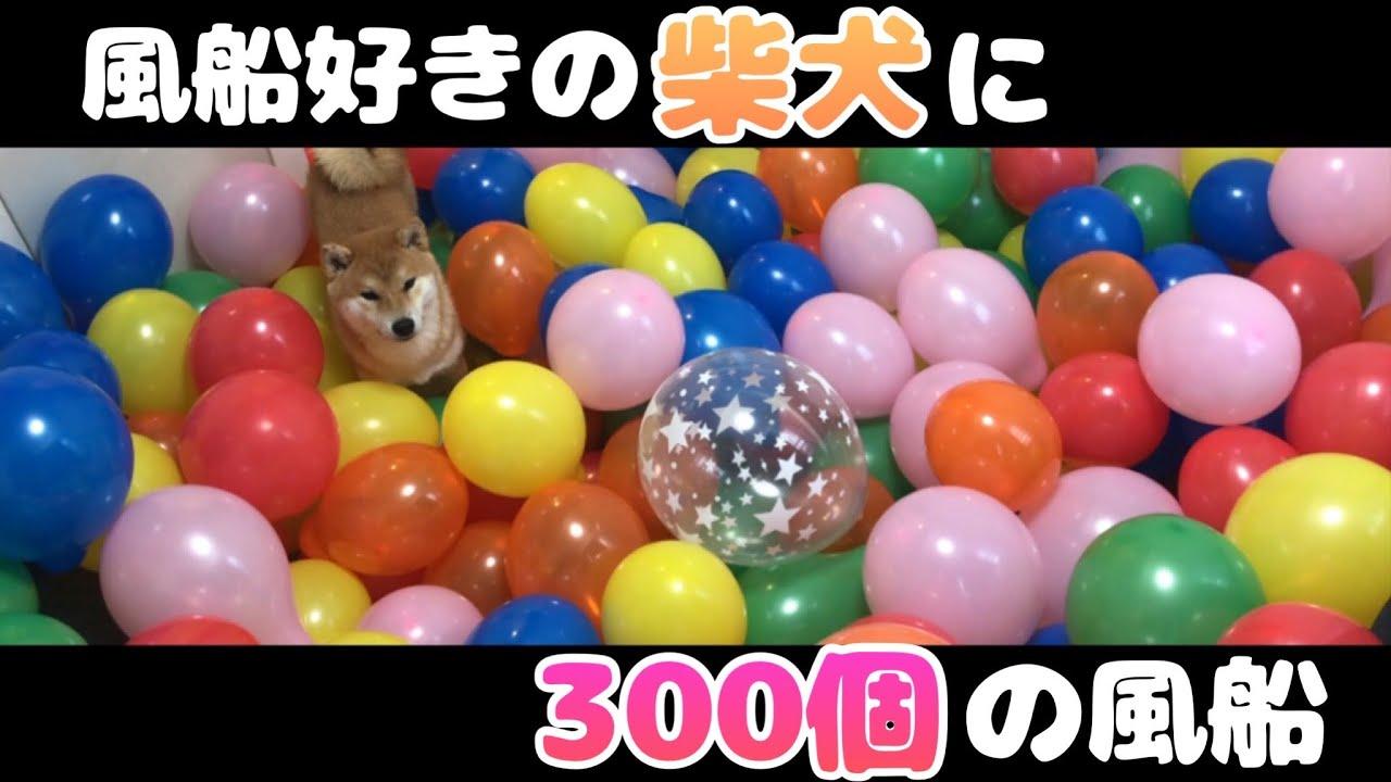 【検証】柴犬に300個、風船を膨らませてみた結果…