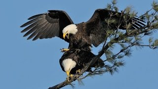 Bald Eagle Mating On Sky