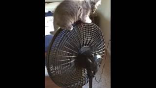 Kitten Rides on Fan