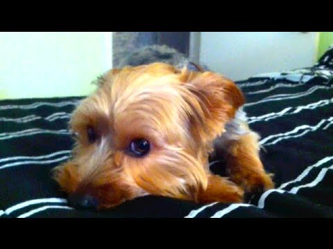 Colby Is Barking Mad And Is Also An Adorable Yorkie Youtube