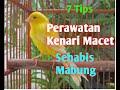 Tips Perawatan Kenari Macet Sehabis Mabung  Mp3 - Mp4 Download