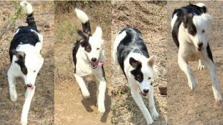 Indian pariah dog facts in hindi///// best indian pariah dog