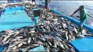Maldives Pole and Line Skipjack Tuna Fishing