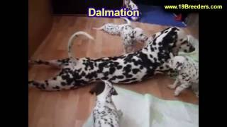 Dalmation, Puppies For Sale, In, Nashville, Tennessee, Tn, County, 19breeders, Knoxville, Smith