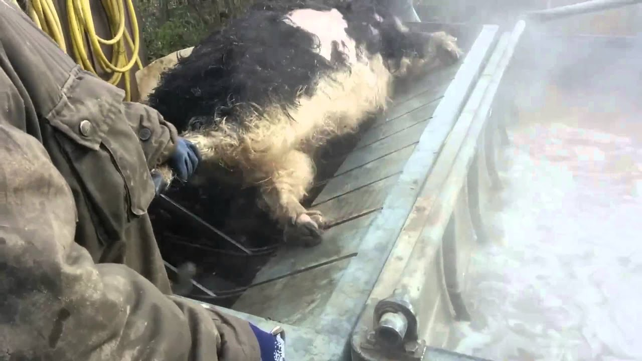 Mädchen schlachten schwein