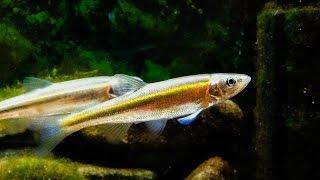 Native Fish Care: Redside Dace