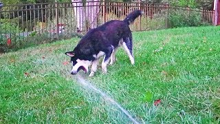 Dog Playing with Water Hose