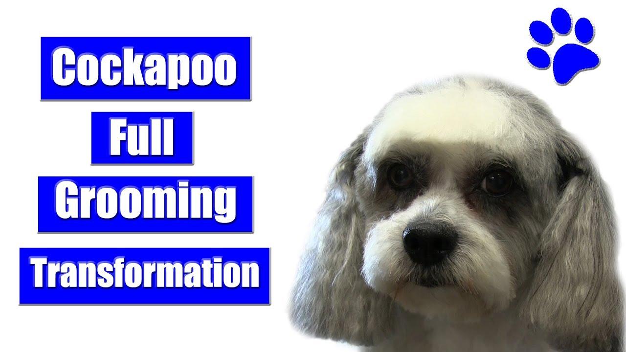 Cockapoo Transformation Full Grooming