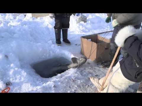 Polar Hunters On Greenland Are Becoming Fishermen