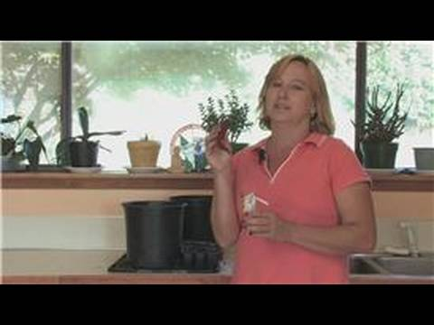 Indoor Plants : How to Grow Chili Plants Indoors