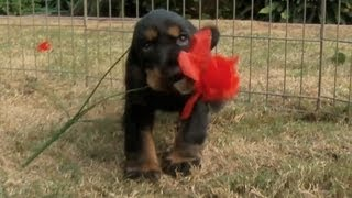 Spaniel Puppies Bought You Roses!