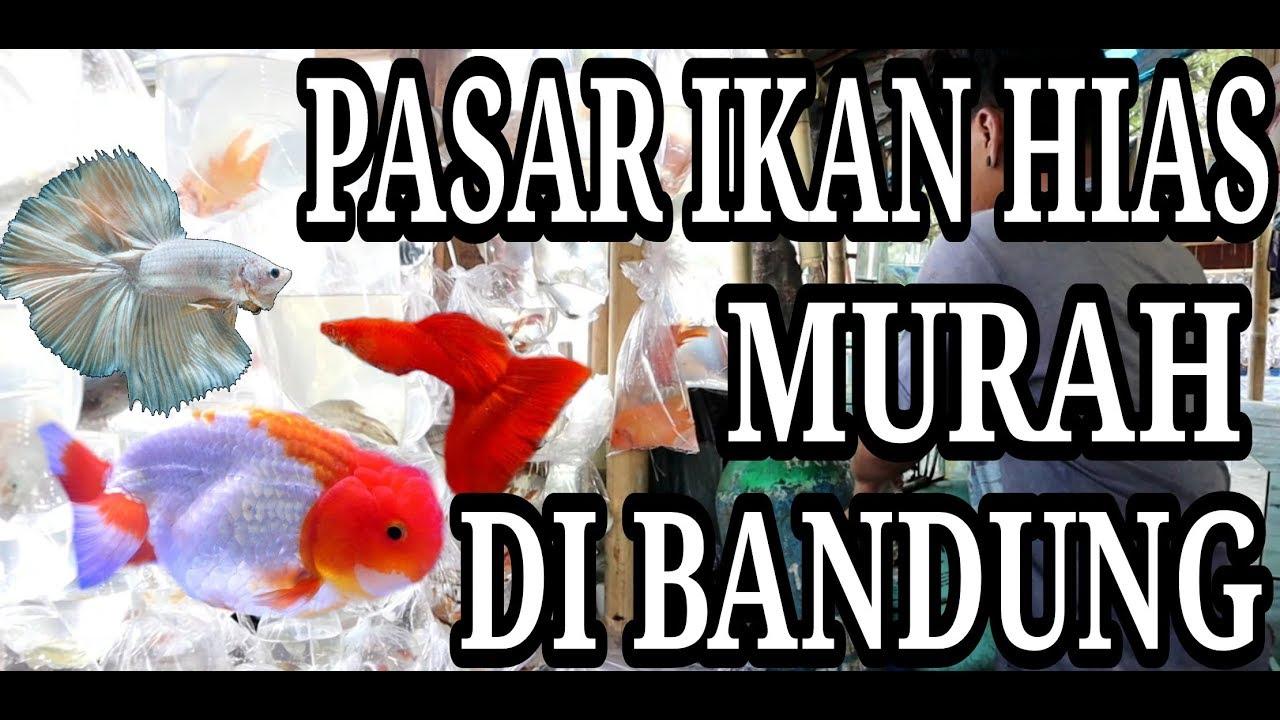 Pasar Ikan Hias Termurah Di Bandung Youtube