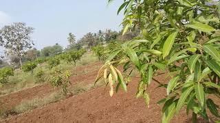 High Density Mango Plantation