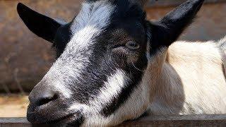Goats. We feed goats!