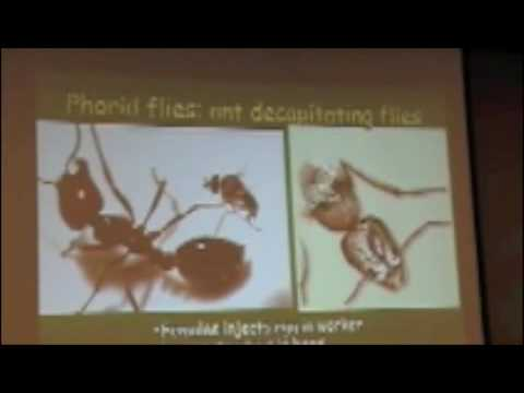 phorid flies kill fire ants youtube. Black Bedroom Furniture Sets. Home Design Ideas