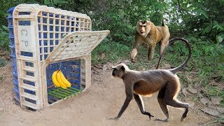 Amazing Brave Boy Make Monkey Trap Using Big Plastice Basket And Banana - Big Monkey Trap (Work 100%