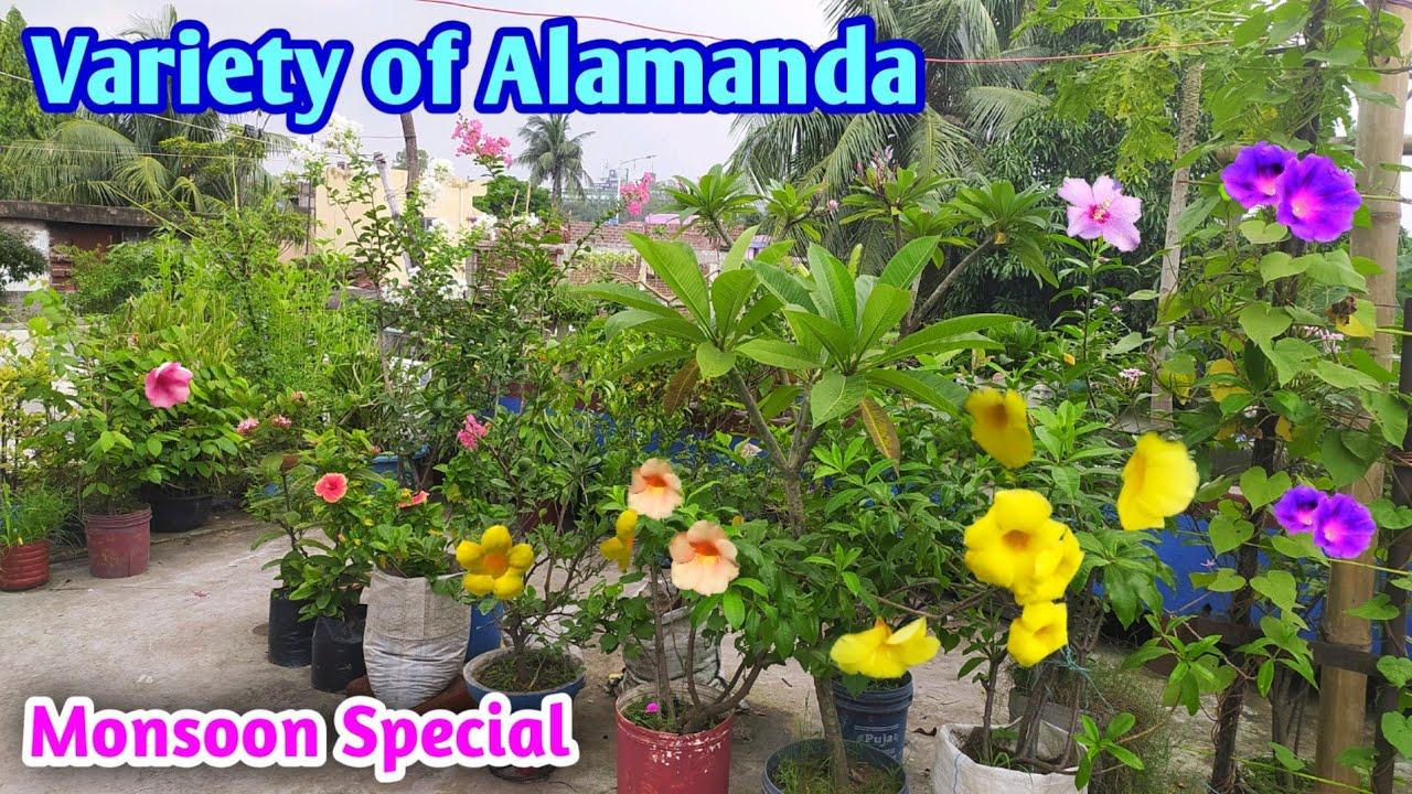 Alamanda Variety on My @Rooftop Garden  | Alamanda cutting result