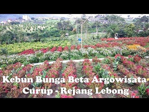 kebun-bunga-beta-argowisata,-curup---rejang-lebong