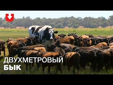 Вопрос: В Австралии живет бык гигант ростом около 2 метров- это правда или шутка?