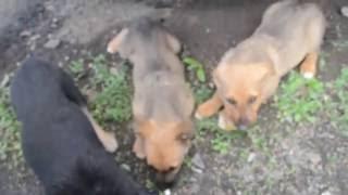 Голодные щенки