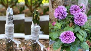 Como Produzir Várias Cores de Rosas em Um Único Pé – Enxerto
