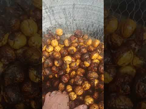 How to dehusk English walnuts
