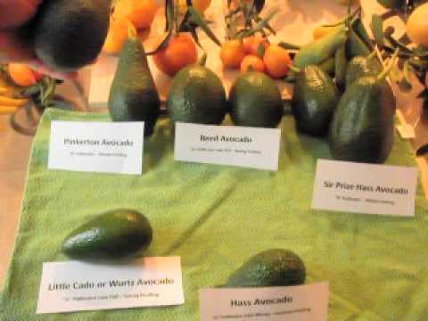H Sir Prize Pinkerton Little Cado And Reed Avocado Fruit Demonstration Avi You